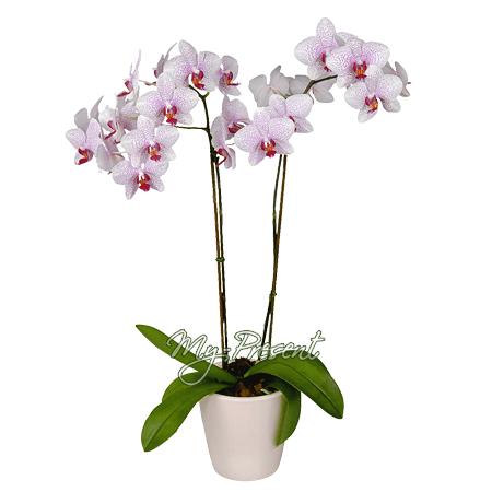 Орхидея в Челябинске